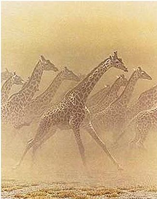 """Robert Bateman Handsigned and Numbered Limited Edition Renaissance Giclee on Canvas:""""Galloping Herd - Giraffes"""""""