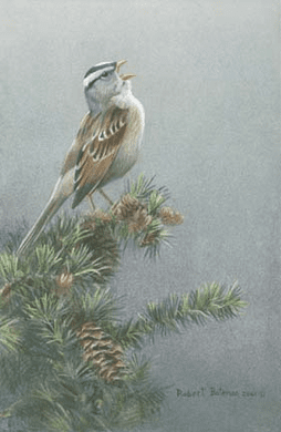 "Robert Bateman Handsigned & Numbered Limited Edition Print:""White-Crowned Sparrow in Douglas Fir """