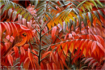 "Robert Bateman Limited Edition Paper Print:""Cardinal And Sumac Global Ed."""