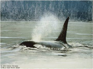 "Robert Bateman Limited Edition Paper Print:""Fluid Power - Orca"""