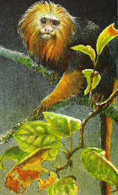 "Robert Bateman Limited Edition Paper Print:""Golden-Headed Lion Tamarin"""