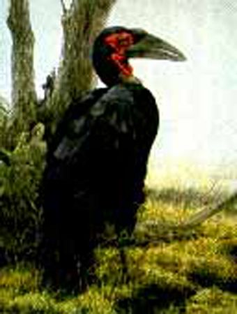 "Robert Bateman Limited Edition Paper Print:""Ground Hornbill - Sappi"""