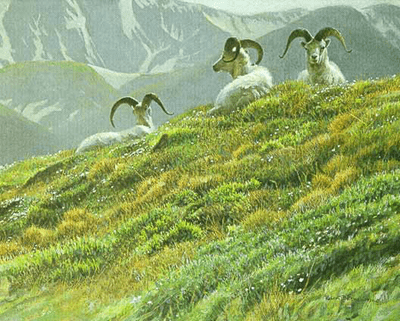 "Robert Bateman Limited Edition Paper Print:""Mountain Meadow - Dall Sheep"""