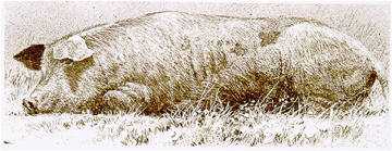 "Robert Bateman Limited Edition Print:""Spanish Pig"""