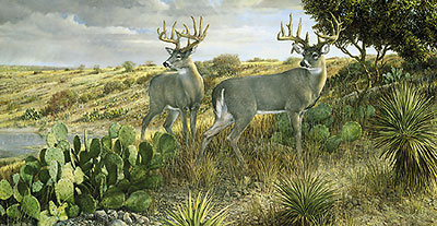 """Ron Van Gilder Limited Edition Print:""""Cactus Country-Whitetail Deer"""""""