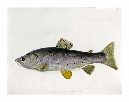"""Sarah Bowdich Fine Art Open Edition Giclée:""""Watercolour of a Trout. From 'The Fresh-Water Fishes of Great Britain', First Edition"""""""