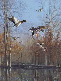 """Scot Storm Handsigned and Numbered Limited Edition Print:  """"Green Timber Mallards"""""""