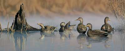 """Scot Storm Handsigned and Numbered Limited Edition Print:""""Spring Mist-Black Ducks"""""""