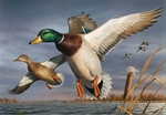 "Federal Duck Stamp Print COLLECTOR'S EDITION 2018-19  Limited Edition by Robert Hautman:""Mallards"""