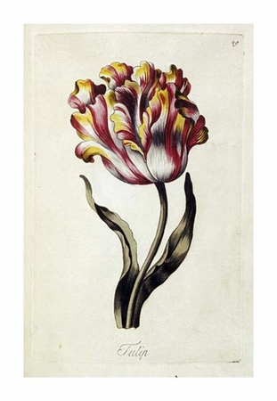 "Thomas Parkinson Fine Art Open Edition Giclée:""Tulip"""