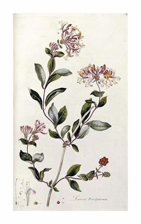 "William Curtis Fine Art Open Edition Giclée:""A Colour Plate from Curtis' Flora Londinesis"""