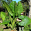 "Alocasia ""Borneo King"" Huge Elephant Ear Plant - 12"" tall now."