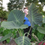 "Gigante Elephant Ear -  Colocasia Maximus - 8"" plant - SOLD OUT"