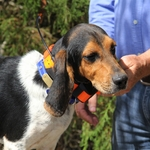 shop Astro 900 T9 Collar on Beagle