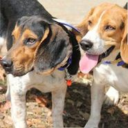 shop Beagle Hunting, Training, and Field Trial Supplies