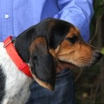 shop Beagle wearing a Treated Nylon Collar