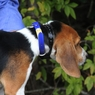 Beagle wearing an SD 3225 Collar