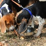 shop Beagles using a Durapet Dog Bowl