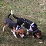 shop Beagles with Chain Coupler