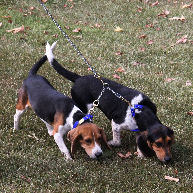 Beagles with Chain Coupler
