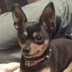 shop Ben's Dog Zoe (Miniature Pinscher)