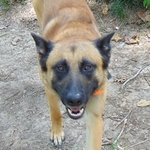 shop Bert's Dog Oden (German Shepard / Belgian Malinois Mix)
