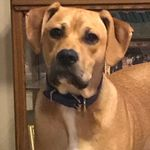 shop Chris's Dog Bandit (Black Mouth Cur/Boxer Mix)