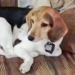 shop Christy's Dog Champ (Beagle)
