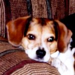 shop Christy's Dog Chief (Beagle)