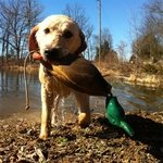 "shop Customer Photo: Eric Teson's dog Ammo with ""an old but durable Dokken Mallard."""