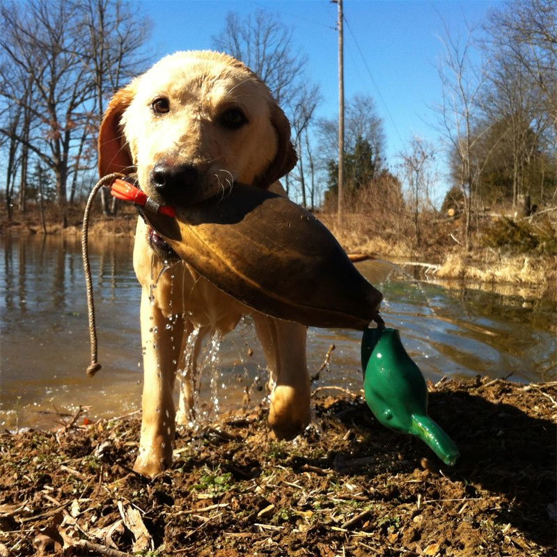 "Customer Photo: Eric Teson's dog Ammo with ""an old but durable Dokken Mallard."""