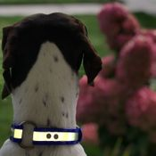 shop Customer Photo: Henry Singh's dog with his Reflective Collar