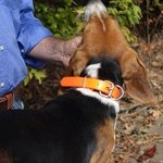 shop Day Glow D-End Collar on a Beagle