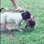 shop Dot (English Pointer)