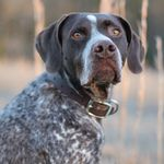 shop Emily's Dog Merle (Pointer)