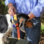 shop Garmin Astro T5 Collar on a Beagle