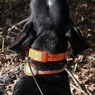 Garmin Astro T5 Collar on a Hound