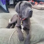 shop Hannah's Dog Samson (Mastiff/Great Dane Mix)