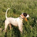 shop Merle (Pointer)