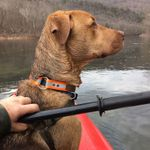 "shop Customer Photo: Rick Baker's dog ""Cooper"" with his Reflective Collar"