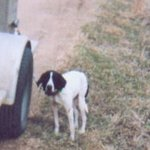 shop Patch (English Pointer)