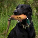 shop Pheasant Dead Fowl Trainer in Use