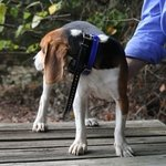 shop PRO 550 Collar on a Beagle