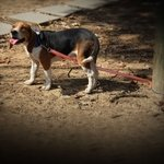 shop Reflective Tree Tie Chain Lead on Beagle Attached to Tree