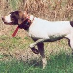 shop Ruby (English Pointer)