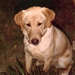 shop Sam (Labrador Retriever)