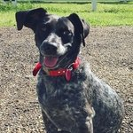 shop Simon's Dog June (Blue Heeler / Beagle Mix)
