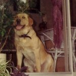 shop Stephanie and Sam's Dog Django (Labrador Retriever)