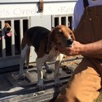 shop Steve M's Dog FCGD Whites Creek Liberty Bell (Beagle)
