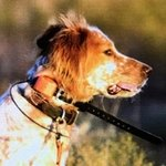 shop Steve's Dog Cowboy (English Setter)